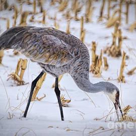 Sandhill Crane Winter Digs