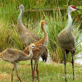 Larry Nieland - Sandhill Cranes On Alert