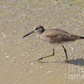 DejaVu Designs - Sandpiper Wading in Shallow Water on a Beach