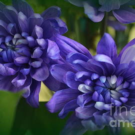 Sapphire Blue Chrysanthemums by Dora Sofia Caputo Photographic Design and Fine Art