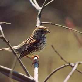 Aaron Rushin - Savannah Sparrow