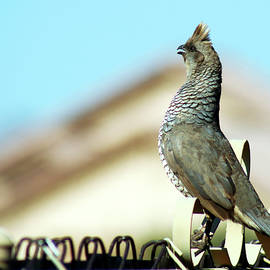 Scaled Quail by Derrick Neill