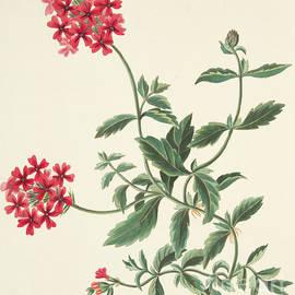Scarlet flowered Vervain - Margaret Roscoe