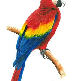 Christopher Cox - Scarlet Macaw