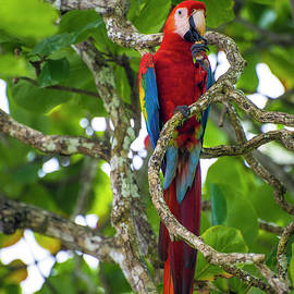 Scarlet Macaw by David Morefield
