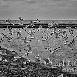 Cobbled Path Photography - Scattering Gulls