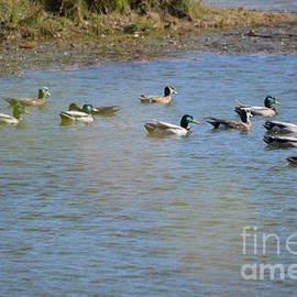 School Of Ducks  by Ruth Housley