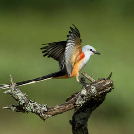 Judi Dressler - Scissor-tailed Flycatcher