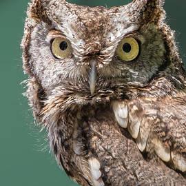 Screech Owl by Anthony Sacco