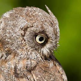 Screech Owl Portrait by Roeselien Raimond