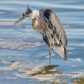 Scruffy Looking Heron by John Radosevich