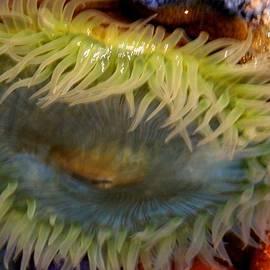 Arlane Crump - Sea Anemone