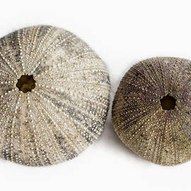 Sea Urchin Shells by Belinda Greb