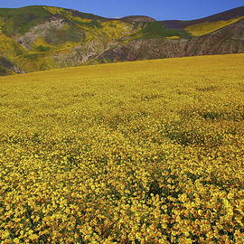 Jetson Nguyen - Sea of yellow up in the Temblor Range at Carrizo Plain National Monument