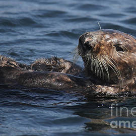 Sea Otter in Monterey Bay by California Views Archives Mr Pat Hathaway Archives