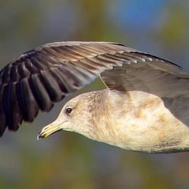 Alan C Wade - Seagull - 3