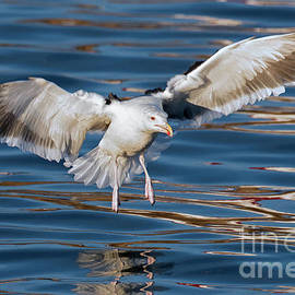 Seagull by Arterra Picture Library