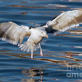 Arterra Picture Library - Seagull