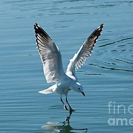 Geoff Childs - Seagull Landing with Water Reflections.