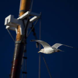 Seagull of Mystic CT by Kirkodd Photography Of New England