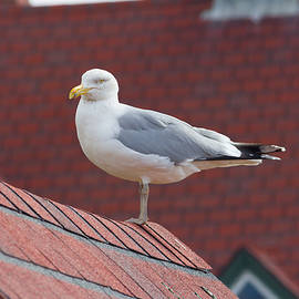 Seagull on Red Roof by Kirkodd Photography Of New England