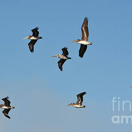 Susan Wiedmann - Seagull Soaring With Pelicans