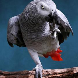 Secretive Gray Parrot by Debi Dalio