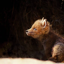 Seeing The Light - Red Fox Baby looking up tot the sun - Roeselien Raimond