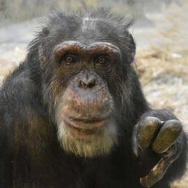 Beth Wolff - Senior Chimpanzee