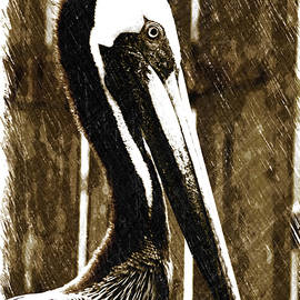 Elizabeth Abbott - Brown Pelican Sketch