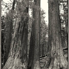 Sequoia Trees 0758 by Bob Neiman