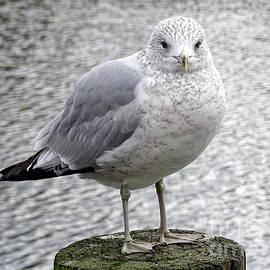 Serene Seagull by Ed Weidman