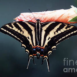 Serene Swallowtail butterfly  by Ruth Jolly