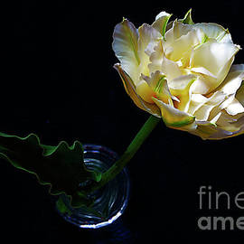 Elegant White Tulip. by Alexander Vinogradov