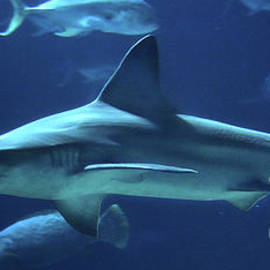 Shark-9783 by Gary Gingrich Galleries