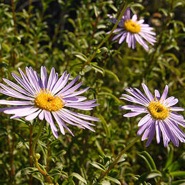 Shark Bay daisy by Tony Brown