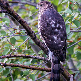 Sharp-shinned Hawk by Tim Kathka