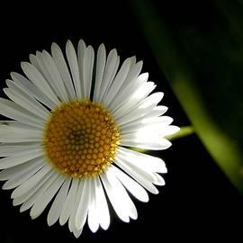 Shasta Daisy by Beatrice Cox