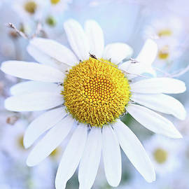 Shasta Daisy by Stephanie Frey