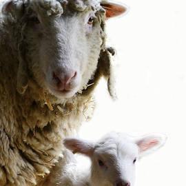Sue McGlothlin - Sheep portrait