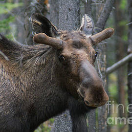 Stanza Widen - Sheepish Bull Moose