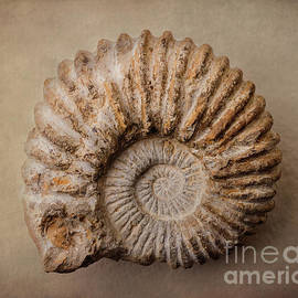 Shell-fossil #03 by Hans Janssen