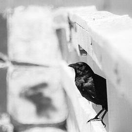 Amy Sorvillo - Shiny Crow in Black and White