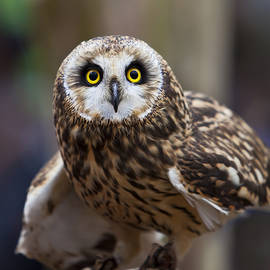 Amy Jackson - Short Eared Owl