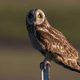 Mavourneen Strozewski - Short Eared Owl at Sunset On a Pole