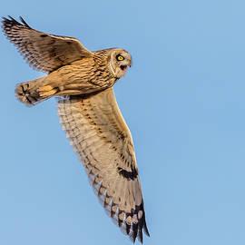 Short-Eared Owl Flight by Morris Finkelstein