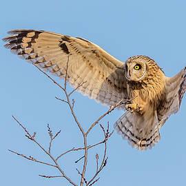 Short-Eared Owl Landing by Morris Finkelstein