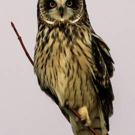 Short Eared Owl by Walt Sterneman