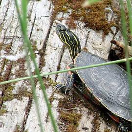 Shuswap Lake Turtle by Ed Mosier