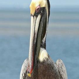 Carol Groenen - Shy Pelican Portrait